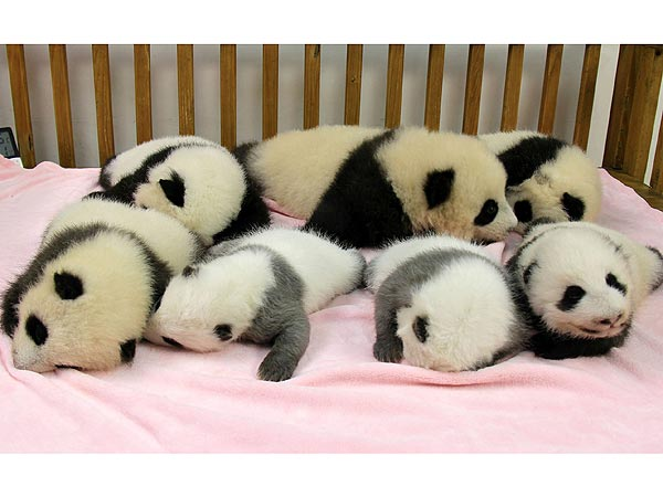 baby-panda-600